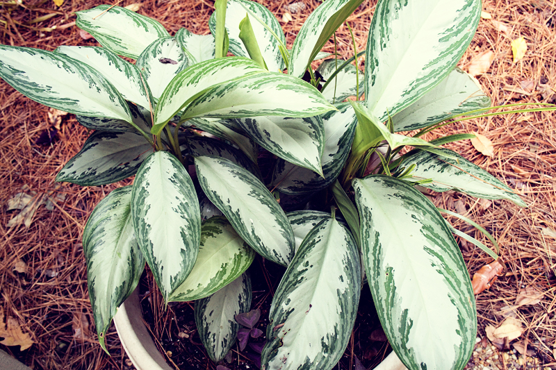 modern garden - chinese evergreen